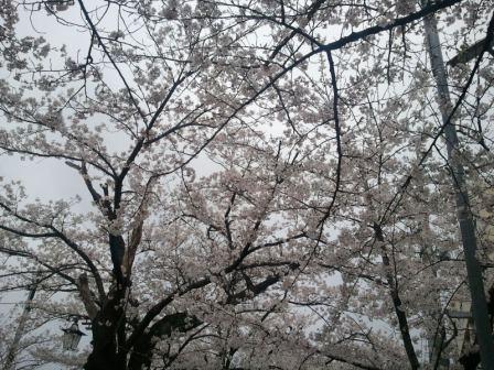20130417sakura.jpg