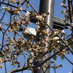 弥彦駅前の彼岸桜